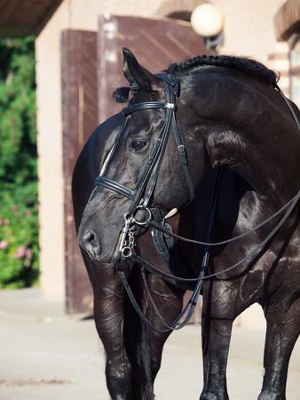 Photo pour portrait of sportive dressage black stallion posing at stable background - image libre de droit