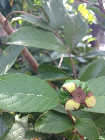 Little green guava fruit