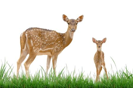 axis deer with green grass isolated
