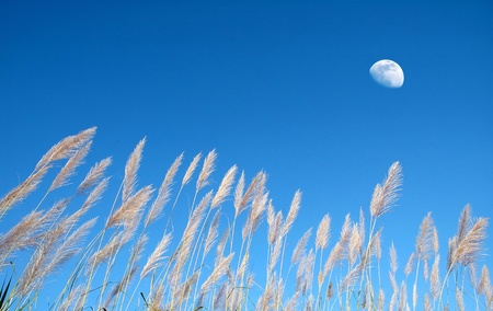 beautiful wild grass and blue sky
