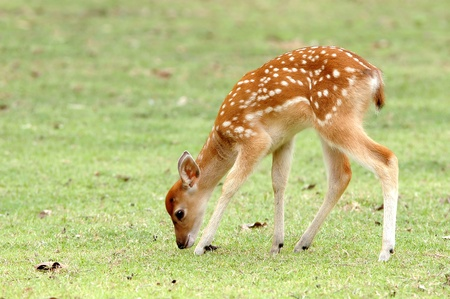 sika deer fawn eatting grass