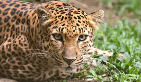 A closeup of a leopard