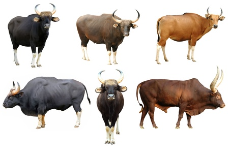 gaur and banteng and watusi collection isolated on white background