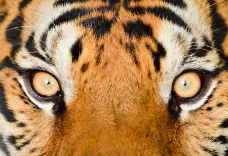 close up of tiger eye