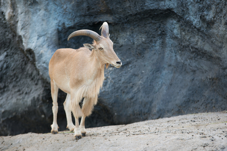 female Barbary sheep (Ammotragus lervia) standing on the rock