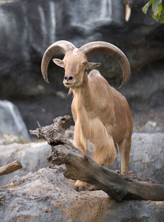 male Barbary sheep (Ammotragus lervia) standing on the rock