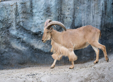 male Barbary sheep (Ammotragus lervia) walking on the rock