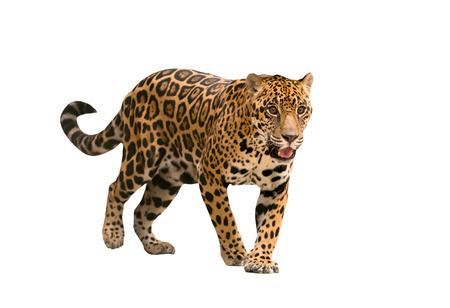 Foto de jaguar ( panthera onca ) isolated on white backgrond - Imagen libre de derechos