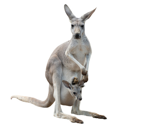 Photo pour female gray kangaroo with joey in pouch isolated - image libre de droit