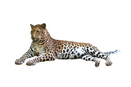 leopard ( Panthera pardus ) isolated on white background