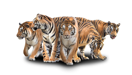 Photo pour group of bengal tiger with shadow on white background - image libre de droit