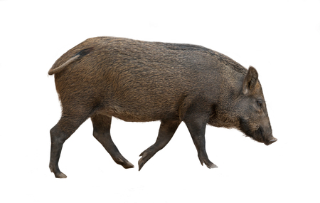 Photo pour Asian wild boar isolated on white background - image libre de droit