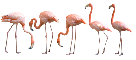 Photo pour Beautiful flamingo bird isolated on white background - image libre de droit