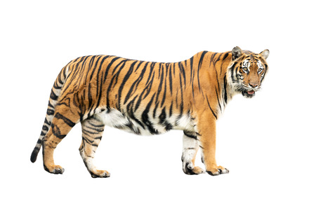 Photo pour bengal tiger isolated on white background - image libre de droit