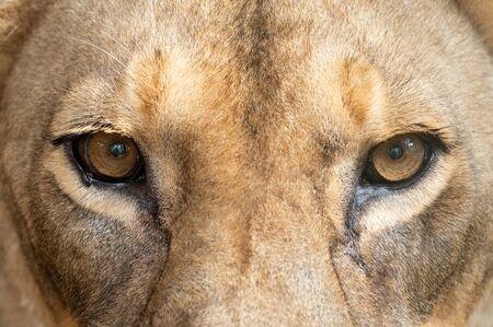 Photo pour female african lion (Panthera leo) eyes close up - image libre de droit