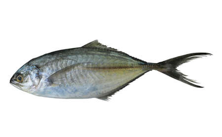 Photo pour Jack or Trevallie or Kingfish fish isolated on white background,  Saltwater fish species in Thailand - image libre de droit