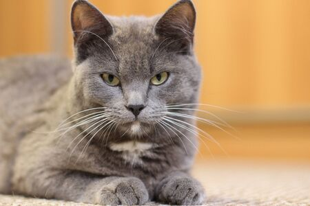 gray cat lying on the floor, cat with silver hair, Young British cat on the floor