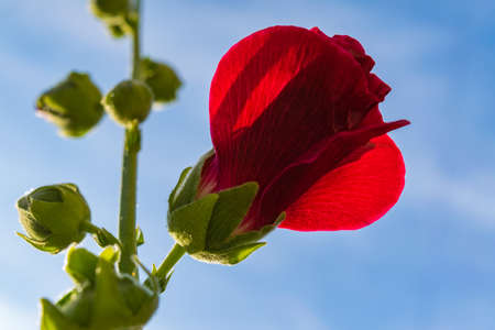 Bright red mallow flowers with green leaves close up