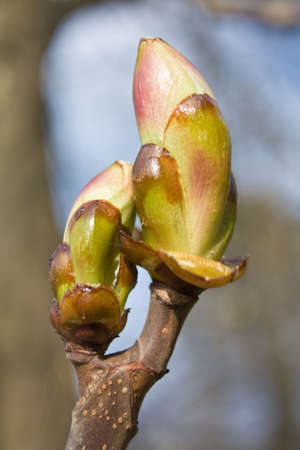 Early spring bud of the horse-chestnut tree