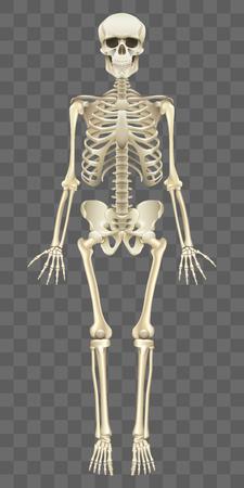 Illustration pour Human skeleton isolated on white photo-realistic vector illustration - image libre de droit