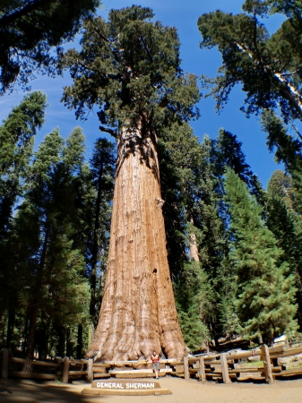 The General Sherman is a giant sequoia tree located in the Giant Forest of Sequoia National Park