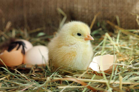 Cute yellow chicken and egg shell on background, close-up