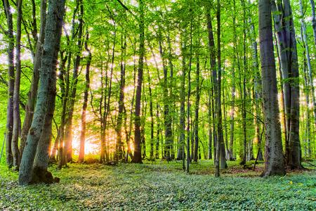 Spring Forest Morning