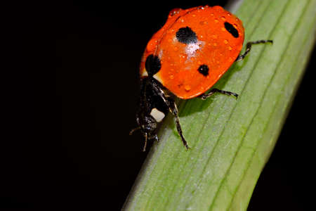 Ladybird red on green leaf macro creeping