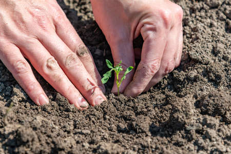 Photo for A woman is planting tomato seedlings and using her hands to tamp the ground for better rooting of the sprouts. - Royalty Free Image