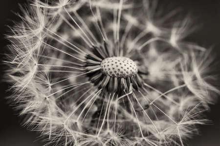 Photo pour White dandelion - image libre de droit