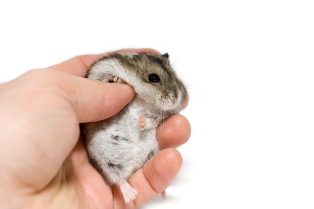 Palm holds a cute hamster in front of white