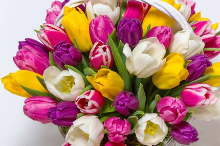 Photo for bunch of fresh purple, pink, yellow and white tulip flowers close up isolated on white background - Royalty Free Image