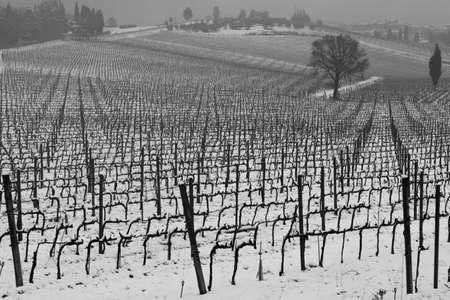 Rows of vineyard in Chianti, Italia