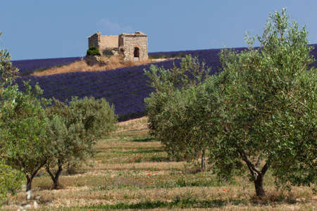 Lavender field through olive trees