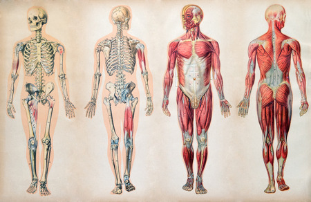Old vintage anatomy charts of the human body showing the skeletal system and various muscles, four figures in a row in different orientations