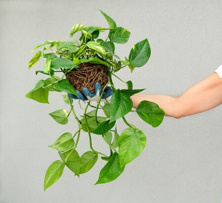 Photo pour Person holding up a leafy green pothos plant, or Epipremnum aureum, potted in a hanging basket in his hand displaying it in front of a white wall - image libre de droit