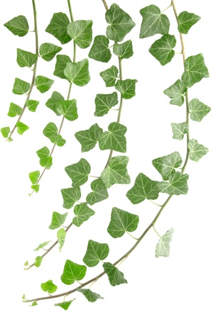 Ivy branches isolated on white