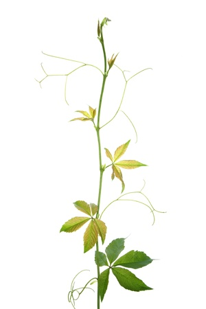 Creeper plant branch isolated on white