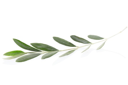 Olive branch leaves on white,