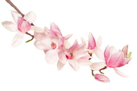 Magnolia flower, spring branch on white