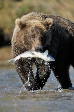 Grizzly Bear catching a salmon