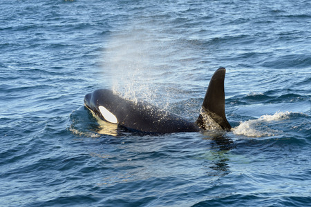 Killer whale coming up breathing
