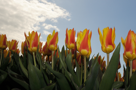Close-up from tulip field with sky.
