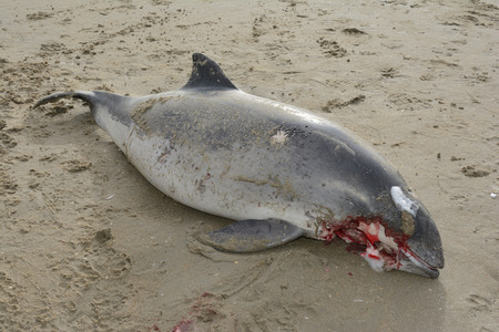 Harbour porpoise (Phocoena phocoena) lying dead on a beach after hit by a ships screw.