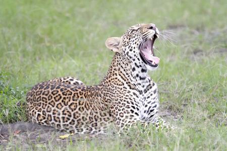 Photo pour Leopard (Panthera pardus) lying down in grass, Masai Mara, Kenya. - image libre de droit