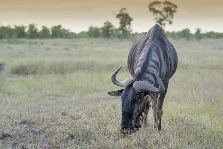 Gnu or blue wildebeest (Connochaetes taurinus) feeding on grassland, Kruger National Park, Mpumalanga, South Africa