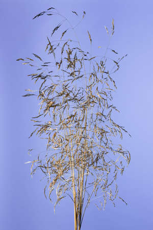 Studio shot of a dry grass panickles