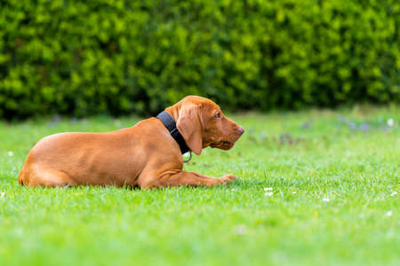Photo for Obedience training. Vizsla puppy learning the Lie down Command. Cute Hungarian Vizsla puppy laying down on lawn. - Royalty Free Image