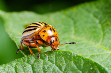Foto de Colorado potato beetle eats green potato leaves. - Imagen libre de derechos