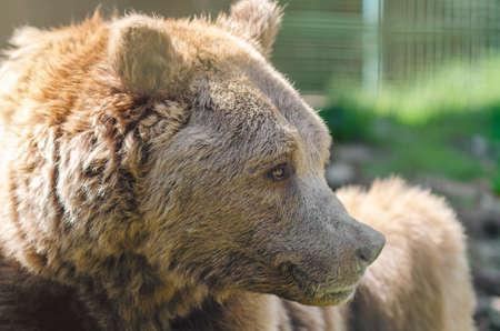 Photo pour Portrait of an old brown bear, a predatory beast. - image libre de droit